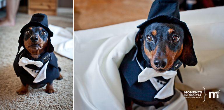 Dachshund in a Tuxedo